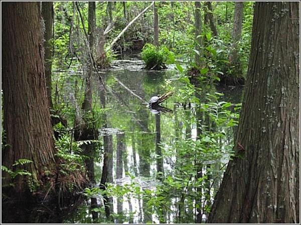 Woods Bay State Park - Olanta, SC - South Carolina State Parks